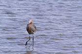 Reddish heron — Stock Photo