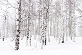 Aspen forest covered in fresh snow. — Stock Photo