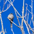 Stock Photo: Mountain Bluebird
