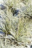 Yucca cactus — Stock Photo
