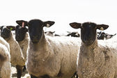 Suffolk Sheep — Zdjęcie stockowe