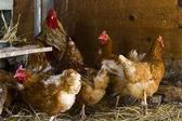 Free range chickens — Foto de Stock