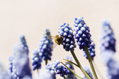 Common grape hyacinth — Stock Photo
