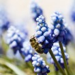 Common grape hyacinth — Stock Photo #24536327