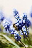 Common grape hyacinth — Stock Photo