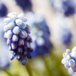 Common grape hyacinth — Stock Photo #24543557