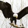 Bald eagle — Stock Photo #25556027
