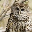 Barred Owl — Stock Photo #25560741
