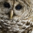 Barred Owl — Stock Photo #25560755
