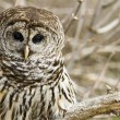 Barred Owl — Stockfoto