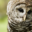 Barred Owl — Stock Photo #25562483