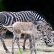 Zebras — Stock Photo
