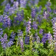 ������, ������: Lupins