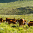 Cattle — Stock Photo