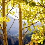 Golden Aspens — Stock Photo