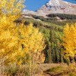 Golden Aspens — Stock Photo