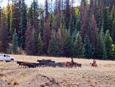 Cattle Drive — Stock Photo