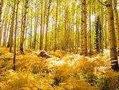 Aspen Trunks in Fall — Stock Photo