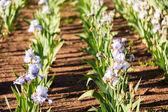Iris garden — Stock Photo