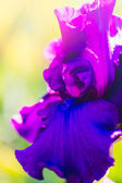 Iris garden — Photo