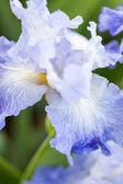 Iris garden — ストック写真