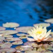 Water lily — Stock Photo #48221403