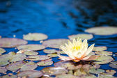 Water lily — Foto Stock
