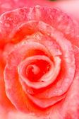 Blooming pink rose — Stock Photo