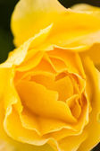 Blooming yellow rose — Stock Photo