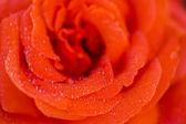 Blooming rose — Stock Photo
