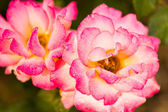 Blooming pink rose — Stock Photo