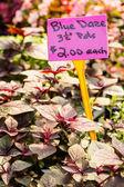 Plant at Nursery blue daze — Stock Photo