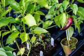 Plants of pepper at Nursery — Stock Photo