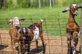 Kid goats by the fence — Stock Photo