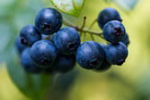 Ripe blueberries — Stock Photo