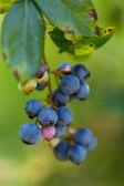 Ripe blueberries — Stock Photo