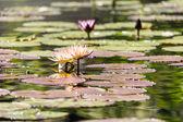 Bloeiende waterlelies van verschillende kleuren — Stockfoto