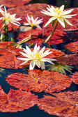 Blooming waterlilies of different colors — Stock Photo