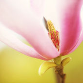 Yulan Magnolia Petal Background — Stock Photo