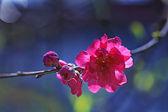 Flores del ciruelo rojo — Foto de Stock
