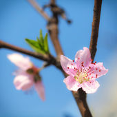Pink plum blossoms under blue sky — Stock Photo