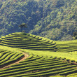 Tea Plantation — Stock Photo #23940833