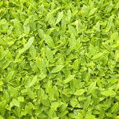 Fresh Tea Leaf Textures Background — Stock Photo