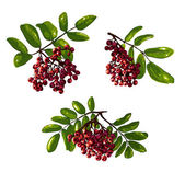 Ashberry Branch Composition with Berries and Leaves — Stock Vector
