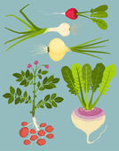 Growing Root Vegetables with Greens Collection — Stock Vector
