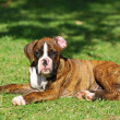 Stock Photo: Boxer dog puppy