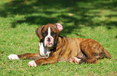 Boxer dog puppy — Stock Photo