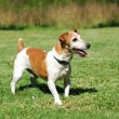 Stock Photo: Jack Russell Terrier