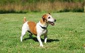 Jack russell terrier — Stok fotoğraf