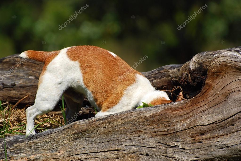 A purebred Parson Jack Russell dog hunting mice in the forest. — Stock Photo #13901008